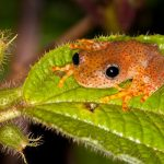 Amphibien aus Madagaskar