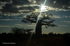 Baobabs im Westen von Madagaskar