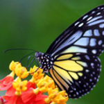 Butterflies_wallpapers_277-300×225