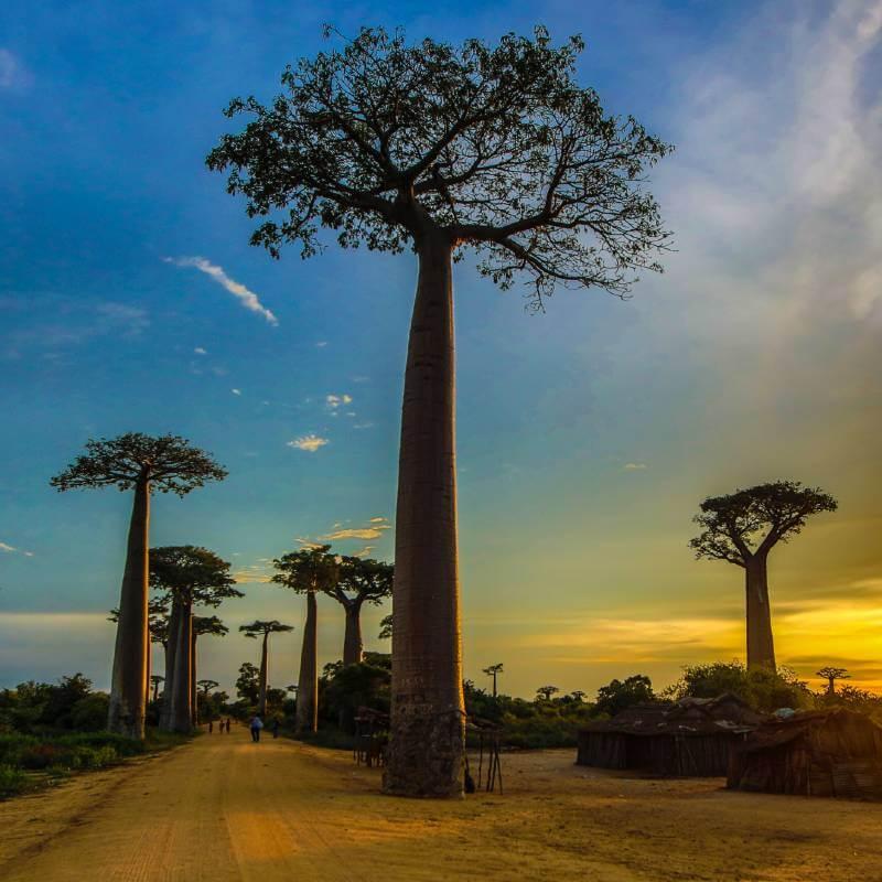 Affenbrotbäume auf Madagaskar