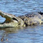 Nil Krokodil in Madagaskar