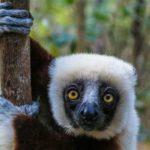 Madagaskars Lemuren Familien