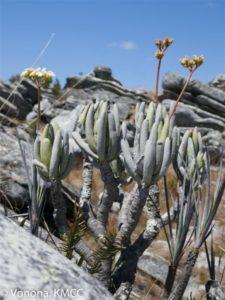 Flora und traditionelle Arzneimittel auf Madagaskar