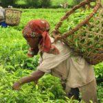 Sahambavy-die einzige Tee Plantage in Masagaskar