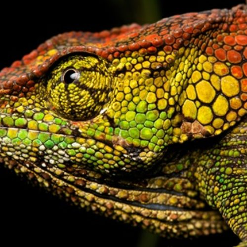 Female chameleon (Calumma sp.) - Copie