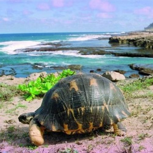 Fort Dauphin Strahlenschildkröte