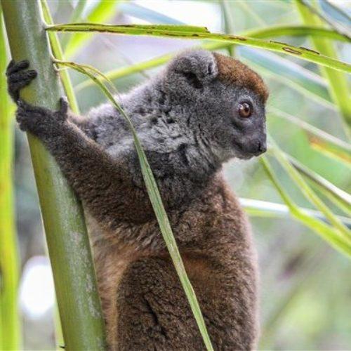Andasibe Lemur