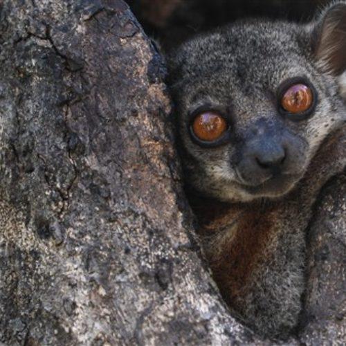 Tsingy von Bemaraha  Lemuren
